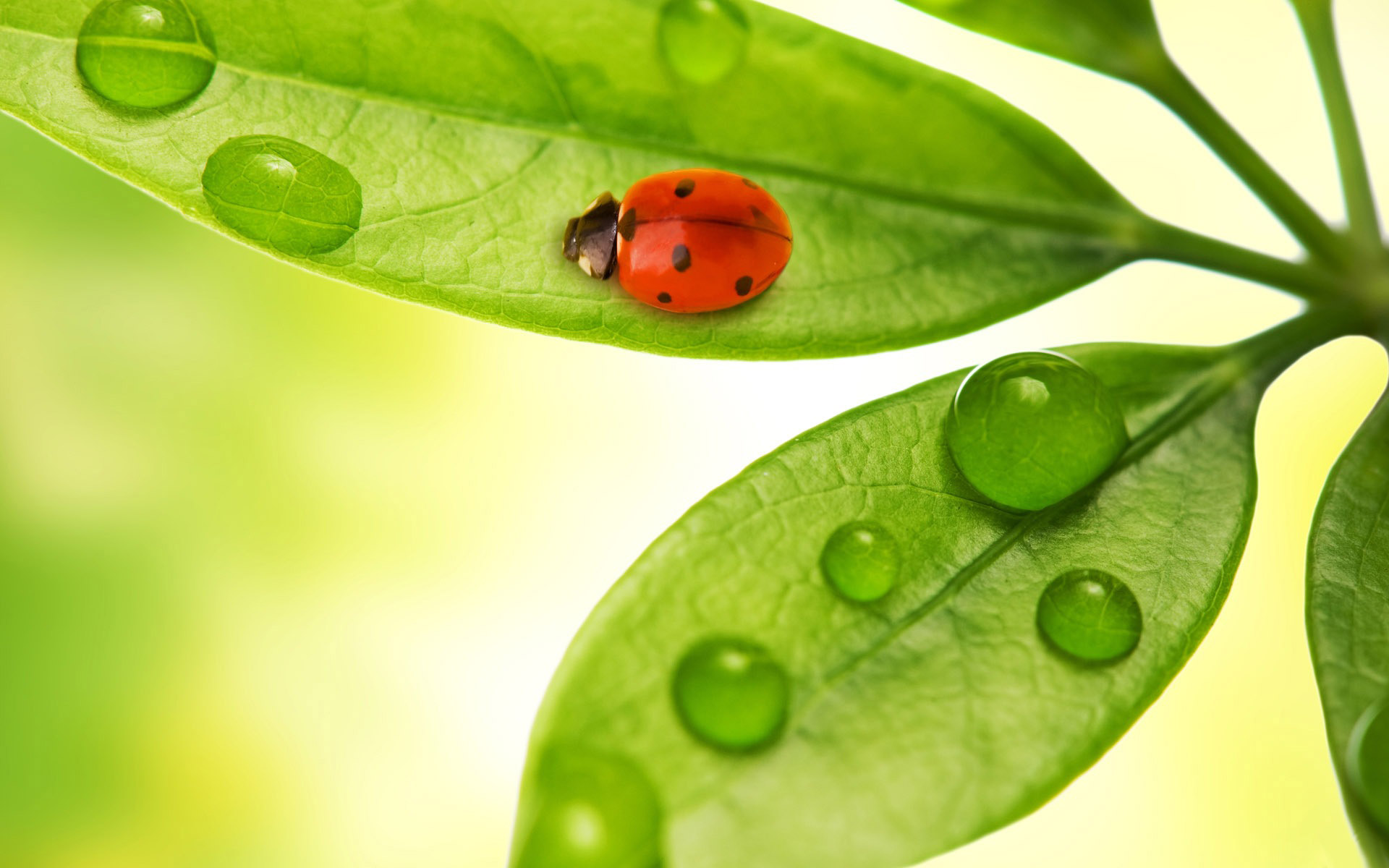 Ladybird_-_free_desktop_wallpapers